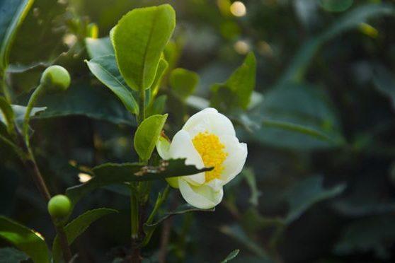 一口气搞懂茶树花,茶乡漫山遍野开的小美丽,别说不认识啊 茶传媒